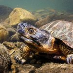 Wood Turtle underwater, Virginia