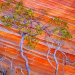 "000103-4050-01 IN Vermilion Cliffs National Monument, AZ / BLM land. Petrified sand dunes with red and yellow banding with Pointleaf ""Manzanita"", Arctostaphylos pungens, in canyon reflected light. 103V2 010326-0215-00 4x5 V Orig"