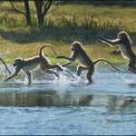 A baboon runs across a stream in Botswana, Africa. The multiple images make up an Action Sequence Panorama. Photographed using a Canon 7D at 8 frames per second (every other image used).