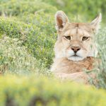 Puma, mountain lion, female, Torres del Paine NP, Chlie, South America